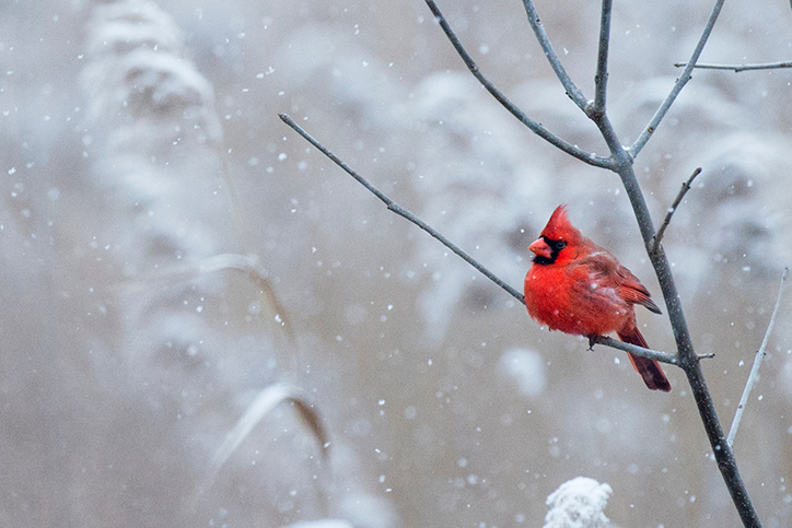 A cardinal sits on a branch in the snow