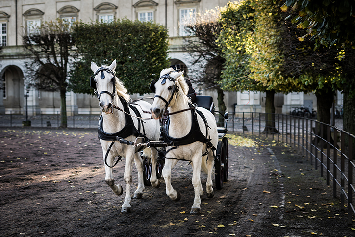 Two white horses pulling a carriage